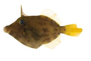 To NMNH Extant Collection (Cantherhines longicaudus USNM 400537 photograph lateral view)