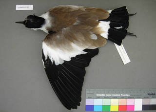 To NMNH Extant Collection (USNM 641362 dorsal)