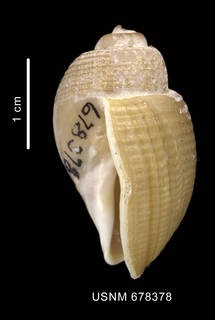 To NMNH Extant Collection (Chlanidota signeyana Powell, 1951 shell lateral view)