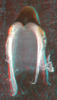 To NMNH Extant Collection (IZ MOL 727508 Architeuthis sp. - upper beak, front view, (10500) 3-D image)
