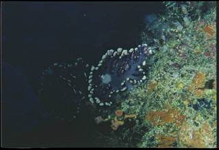 To NMNH Extant Collection (Distichopora violacea USNM 93265)