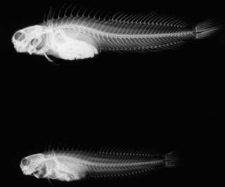 To NMNH Extant Collection (Istiblennius muelleri USNM 122436 radiograph lateral view)