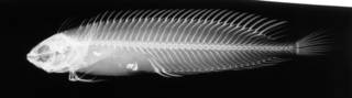 To NMNH Extant Collection (Cristiceps argentatus USNM 171732 radiograph lateral view)