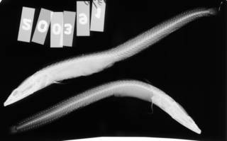 To NMNH Extant Collection (Chaenopsis alepidota USNM 200391 radiograph lateral view)