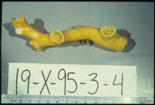 To NMNH Extant Collection (Dendrophyllia oldroydae Oldroyd USNM 98443)