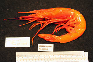 To NMNH Extant Collection (IZ 1151386 specimen)