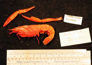 To NMNH Extant Collection (IZ 1151464 specimen)