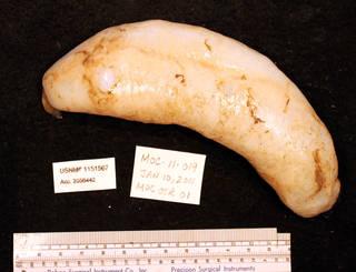 To NMNH Extant Collection (IZ 1151567 specimen)