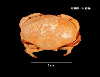To NMNH Extant Collection (IZ 1149536 dorsal view)