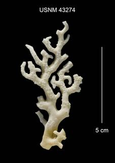 To NMNH Extant Collection (Distichopora borealis USNM 43274)