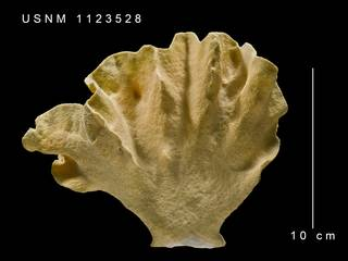To NMNH Extant Collection (Errinopora sp. USNM 1123528 - side 1)