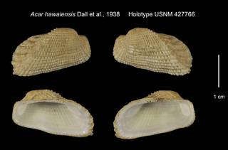 To NMNH Extant Collection (Acar hawaiensis Holotype USNM 427766)