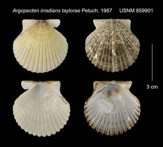 To NMNH Extant Collection (Argopecten irradians taylorae USNM 859901)