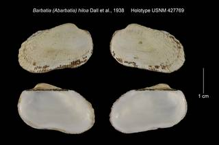 To NMNH Extant Collection (Barbatia (Abarbatia) hiloa Holotype USNM 427769)