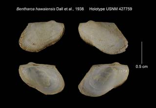 To NMNH Extant Collection (Bentharca hawaiensis Holotype USNM 427759)