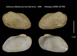 To NMNH Extant Collection (Calloarca (Barbarca) hua Holotype USNM 427760)