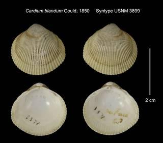 To NMNH Extant Collection (Cardium blandum Syntype USNM 3899)