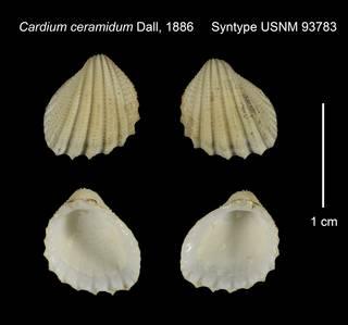To NMNH Extant Collection (Cardium ceramidum Syntype USNM 93783)