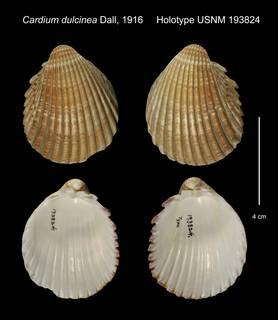 To NMNH Extant Collection (Cardium dulcinea Holotype USNM 193824)