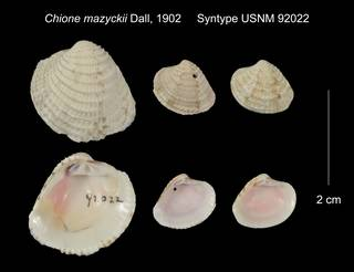 To NMNH Extant Collection (Chione mazyckii Syntype USNM 92022)