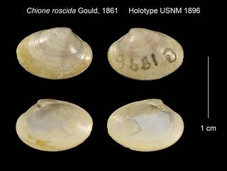 To NMNH Extant Collection (Chione roscida Holotype USNM 1896)