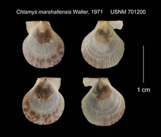 To NMNH Extant Collection (Chlamys marshallensis USNM 701200)