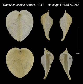 To NMNH Extant Collection (Corculum aselae Holotype USNM 543566)