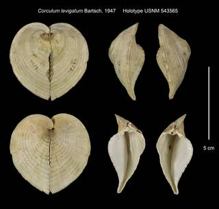 To NMNH Extant Collection (Corculum levigatum Holotype USNM 543565)