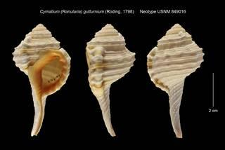 To NMNH Extant Collection (Cymatium (Ranularia) gutturnium Neotype USNM 849016)