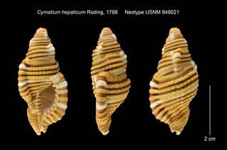 To NMNH Extant Collection (Cymatium hepaticum Neotype USNM 849021)