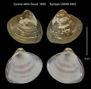 To NMNH Extant Collection (Cyrena altilis Syntype USNM 2402)