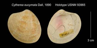 To NMNH Extant Collection (Cytherea eucymata Holotype USNM 93965)
