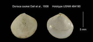 To NMNH Extant Collection (Dorisca cookei Holotype USNM 484190)