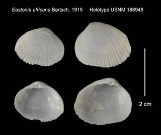 To NMNH Extant Collection (Eastonia africana Holotype USNM 186946)