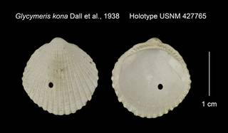 To NMNH Extant Collection (Glycymeris kona Holotype USNM 427765)