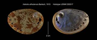 To NMNH Extant Collection (Haliotis alfredensis Holotype USNM 250517)