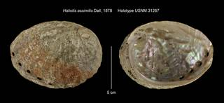 To NMNH Extant Collection (Haliotis assimilis Holotype USNM 31267)