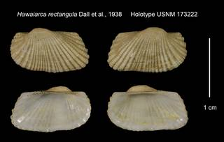 To NMNH Extant Collection (Hawaiarca rectangula Holotype USNM 173222)