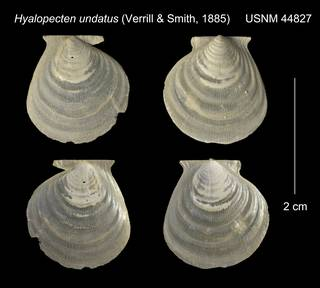 To NMNH Extant Collection (Hyalopecten undatus USNM 44827)