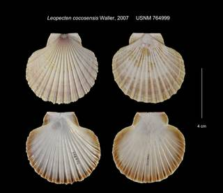 To NMNH Extant Collection (Leopecten cocosensis USNM 764999)