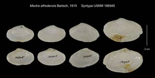 To NMNH Extant Collection (Mactra alfredensis Syntype USNM 186945)