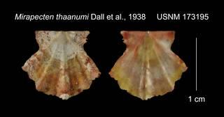 To NMNH Extant Collection (Mirapecten thaanumi USNM 173195)