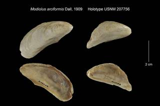 To NMNH Extant Collection (Modiolus arciformis Holotype USNM 207756)