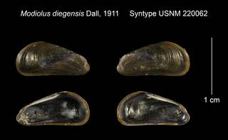To NMNH Extant Collection (Modiolus diegensis Syntype USNM 220062)