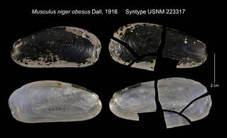 To NMNH Extant Collection (Musculus niger obesus Syntype USNM 223317)
