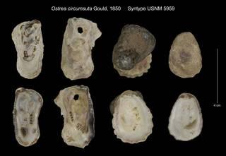 To NMNH Extant Collection (Ostrea circumsuta Syntype USNM 5959)