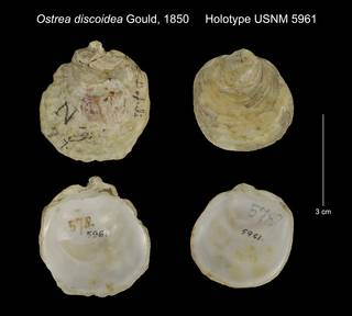 To NMNH Extant Collection (Ostrea discoidea Holotype USNM 5961)