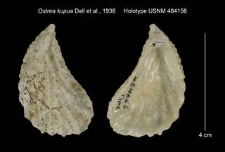 To NMNH Extant Collection (Ostrea kupua Holotype USNM 484156)