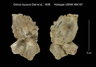 To NMNH Extant Collection (Ostrea laysana Holotype USNM 484157)