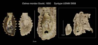 To NMNH Extant Collection (Ostrea mordax Syntype USNM 5958)